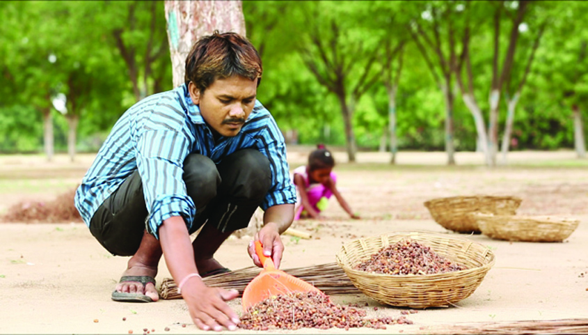 Neem fruit collection helps farmers in rural Gujarat supplement their income.